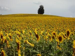 azienda agricola Gavignano - campo di girasoli