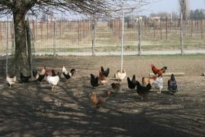agriturismo Ca' Stanga - il pollaio